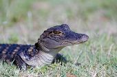 image of alligator baby  - A baby American alligator in the grass along the shoreline of a Florida swamp - JPG