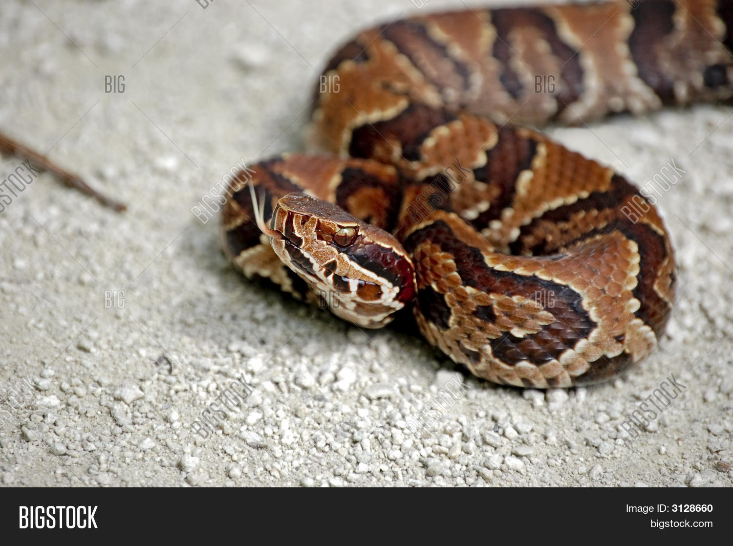 Baby Cottonmouth Stock Photo & Stock Images | Bigstock