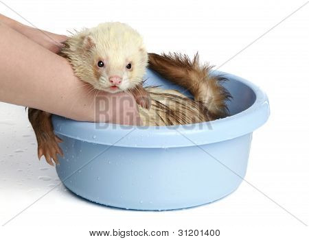 Ferret (polecat) Wash In Water