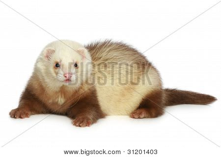 Ferret (polecat) On A White Background
