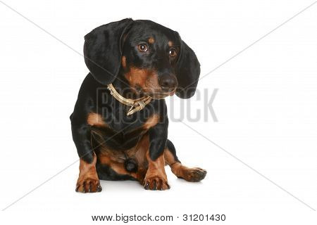 Black And Brown Dachshund Puppy