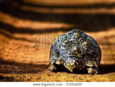 Tortoise Walking Away down a dusty road