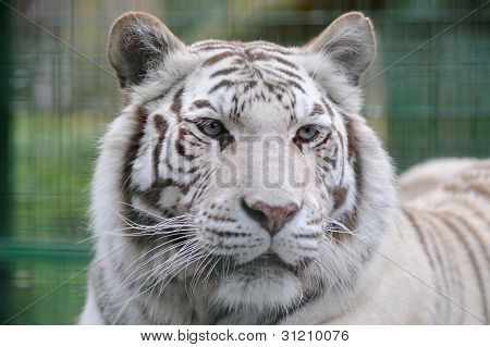 White Tiger Blue Eyes