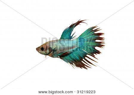 Betta fish, siamese fighting fish with clipping path