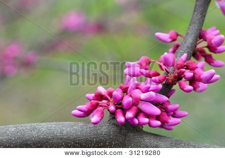 Eastern redbud tree (Cercis canadensis) blossoms in spring time