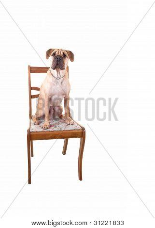 A Sharpei Dog.