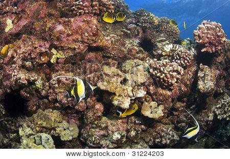Reef Scene In Kona Hawaii With Morish Idol And Butterfly Fish