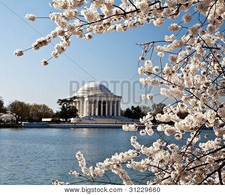 Washington Dc Jefferson Memorial With Cherry Blossoms