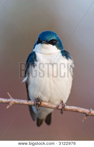 Tree Swallow Resting On A Small Branch