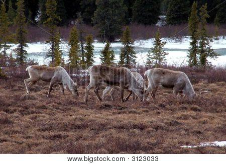 Alaskancaribou