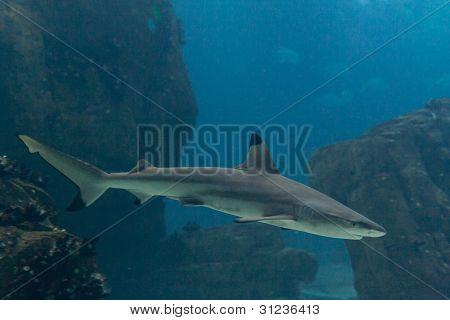 Blacktip shark (Carcharhinus limbatus)