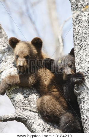 Black Bear Cubs in a Tree