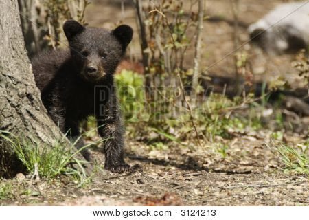 Black Bear Cub by a Tree