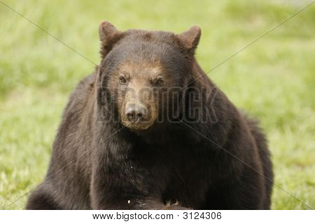 Glaring Black Bear