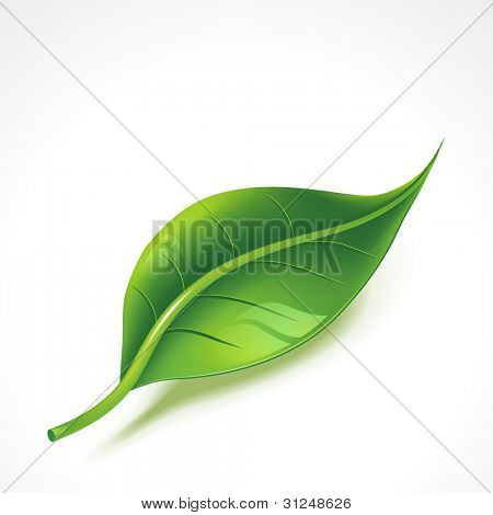 Green shiny leaf