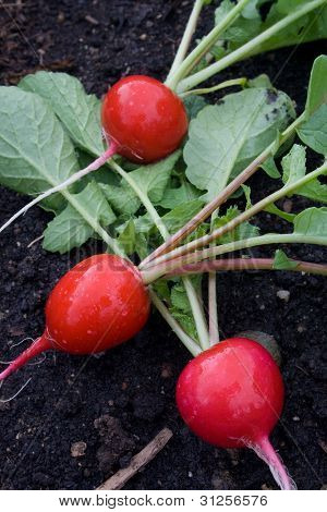 Fresh-picked Organic Radishes