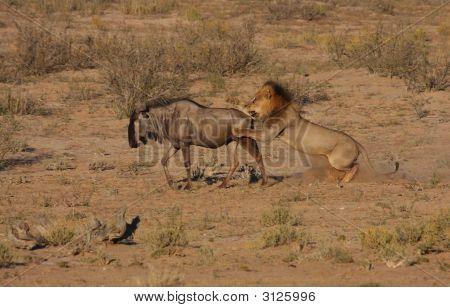 Lion Hunt In Motion