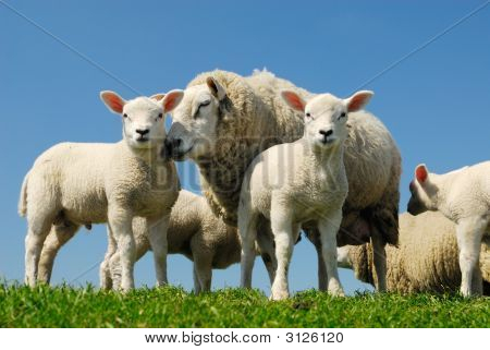 Sheep In Spring