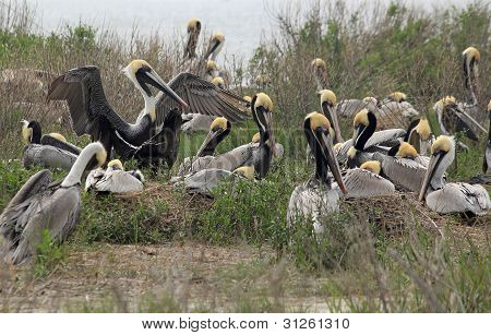 Brown Pelican Rookery