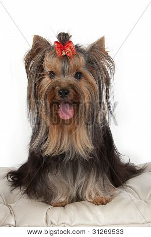 Yorkshire Terrier On Banquette.