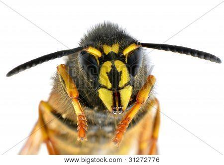 Ultra Macro On Bee Head With Antenaas