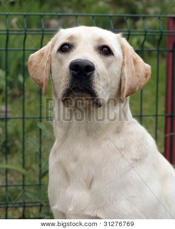 A Young Yellow Labrador