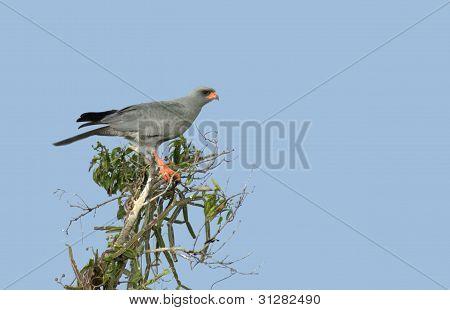 Goshawk On Treetop