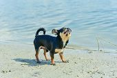 Chihuahua Dog Breed. Portrait Of A Cute Purebred Puppy Chihuahua In The River. Brutal Dog Black And  poster