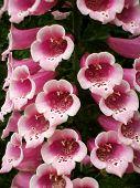 Pink Foxgloves