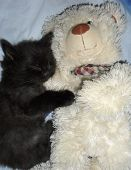 The Kitten Is Sleeping Next To The Teddy Bear. Cute Black Fluffy Kitten Sleeps With A Soft Toy poster