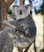 The Mother Koala Is Climbing A Tree With Her Two Joeys poster