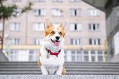 Cute Welsh Corgi Dog Sitting On The Steps In The Town. A Dog In The City. Dog In Urban Landscape poster