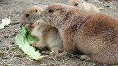 image of blacktail  - A mother prairie dog with two younglings.
