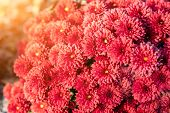 Beautiful Vibrant Coral Chrysanthemum Flowers Carpet Background With Sunflare At Bright Autumn Sunse poster