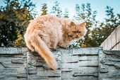 Ginger Cat On Stone Fence Intimidating The Photographer poster