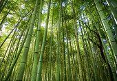 Sagano Bamboo Grove At Arashiyama In Kyoto, Japan. Sagano Bamboo Forest Is One Of The Most Beautiful poster
