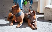 Chongqing Dog, Chinese Dog Breed At Dog Show, Photo Of Two Red Dogs. poster