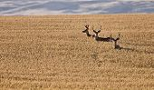 stock photo of black tail deer  - Mule Deer in Wheat Field in Fall Alberta Canada - JPG