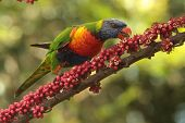 stock photo of lorikeets  - Australian native parrot rainbow lorikeet a symbol of the gold coast and a honey eater - JPG