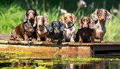 group dog  dachshund sits by the water, dachshund puppy dog swim in the river poster