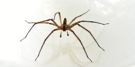 foto of pest control  - a wolf spider resting on a bed picked spider up put in a glass bowl  - JPG