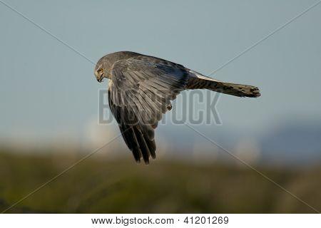 Cinereous Harrier Flying