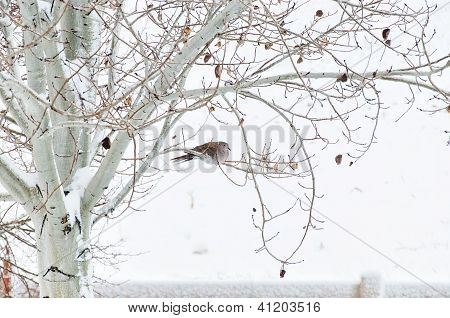 Winter Roost For A Collared Dove