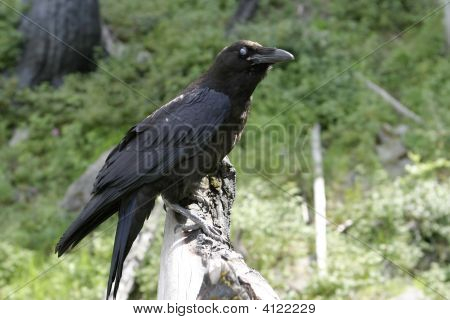 Black Raven With Blue Eye