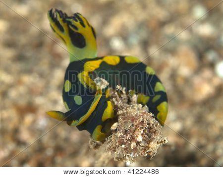 Nudibranch nembrotha kubaryana