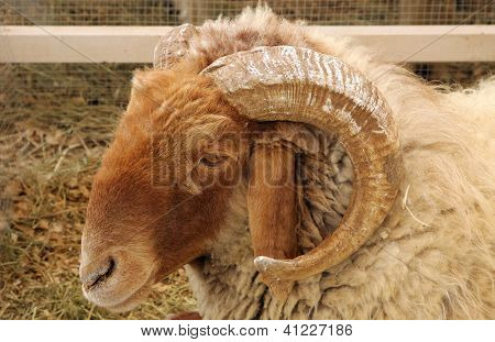 Beautiful curve horn of Awassi sheep