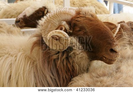 Closeup of awassi sheep with curved horn