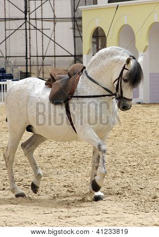 A beautiful white stallion performing