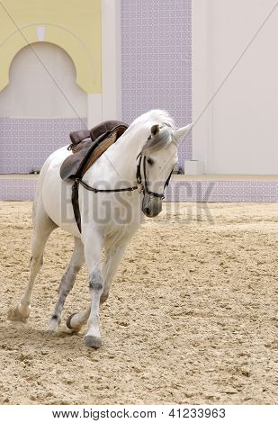 A beautiful white stallion moving on sand