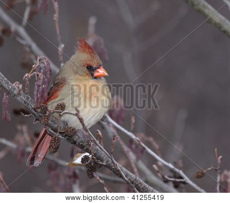 Perched Female Cardinal
